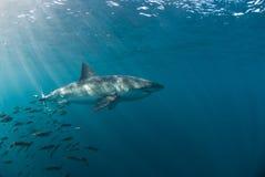 Fuga dello squalo Fotografie Stock