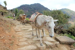 Fuga do asno na rota trekking Fotografia de Stock Royalty Free