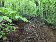 Fuga em uma floresta da faia Fotos de Stock