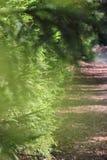 A fuga na floresta spruce Imagem de Stock