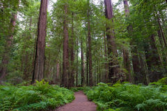 Fuga no nacional e nos parques estaduais da sequoia vermelha imagem de stock