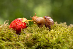Fugas do caracol de morangos maduras na grama verde Imagens de Stock