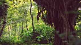 fughe del banyan Immagini Stock