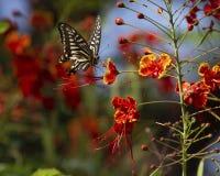 Fugitivo de Swallowtail fotos de stock