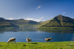 Fuglafjordur, Faroe Islands. Sheep grazing, Fuglafjordur, Faroe Islands Royalty Free Stock Images