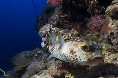 fugu Стоковые Изображения