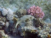 Fugu-Fische Stockbilder