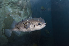 Fugu fish. In deep water Royalty Free Stock Images