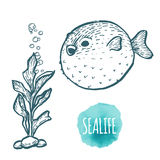 Fugu fish drawing on white background. Hand drawn seafood illustration. Stock Photos