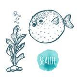 Fugu fish drawing on white background. Hand drawn seafood illustration. Fugu fish drawing on white background. Hand drawn outline seafood illustration Stock Photos