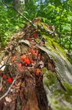 Fugus bonito e cogumelos vermelhos que crescem fora da árvore de decomposição caída perto da área dos animais selvagens dos prado foto de stock royalty free
