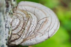 Fugus del estante que crece de la corteza del hongo gris y marrón del árbol - de la corteza de árbol con los liquenes - foco sele fotografía de archivo