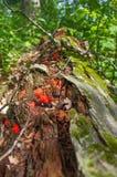 Fugus hermoso y setas rojos que crecen de árbol de descomposición caido cerca del área de la fauna de los prados del Crex en Wisc foto de archivo libre de regalías