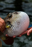 Fuguvissen of Pufferfish of Porcupinefish Royalty-vrije Stock Afbeeldingen