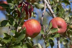 Fuji äpplen i japansk fruktträdgård Royaltyfria Foton