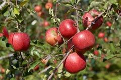Fuji äpplen i japansk fruktträdgård Royaltyfri Foto