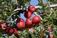 Fuji äpplen i japansk fruktträdgård Royaltyfria Bilder