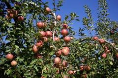 Fuji äpplen i japansk fruktträdgård Arkivfoton