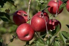 Fuji äpplen i japansk fruktträdgård Arkivbild