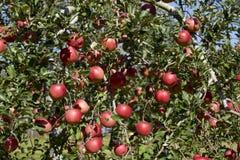 Fuji äpplen i japansk fruktträdgård Royaltyfri Bild