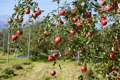 Fuji äpplen i japansk fruktträdgård Fotografering för Bildbyråer