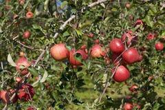 Fuji äpplen i japansk fruktträdgård Arkivfoto