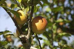 Fuji äpplen på trädet Fotografering för Bildbyråer