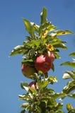 Fuji äpplen som mognar på trädet arkivfoto