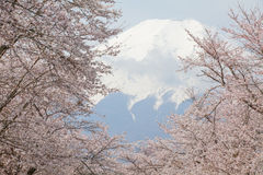 Fuji βουνών και sakura ανθών κερασιών Στοκ φωτογραφία με δικαίωμα ελεύθερης χρήσης