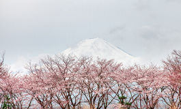 Fuji και ρόδινο δέντρο την άνοιξη Kaw ΑΜ ανθών κερασιών Στοκ Εικόνες
