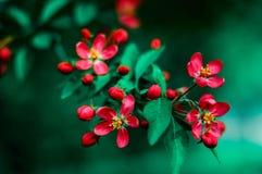 Fuji λουλουδιών φρούτων άνοιξη Στοκ εικόνα με δικαίωμα ελεύθερης χρήσης
