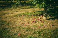 Fuji Apple Orchard Stock Photos