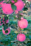 Fuji apple. The ripe Fuji apples are on the branch Royalty Free Stock Photos