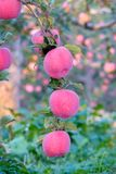 Fuji apple. The ripe Fuji apples are on the branch Stock Images