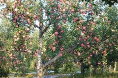 Fuji apple. The ripe Fuji apples are on the tree Royalty Free Stock Photos