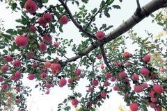 Fuji apple. The ripe Fuji apples are on the tree Stock Images