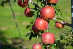 Fuji apples in Japanese orchard. stock photo