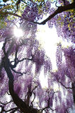 Fuji-Blumen lizenzfreie stockbilder