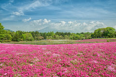 Fuji with the field of pink moss at Shibazakura festival, Japan Stock Images