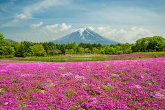 Fuji with the field of pink moss at Yamanashi, Japan royalty free stock photography