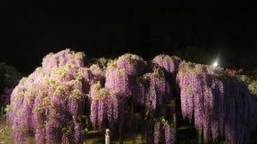 Fuji Hana nel parco di Ashikaga Fotografia Stock Libera da Diritti