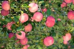 Fuji jabłka zdjęcia stock