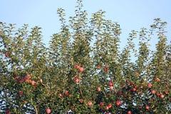 Fuji jabłka fotografia royalty free