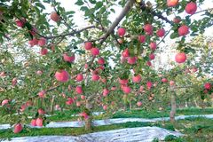 Fuji jabłka obrazy stock
