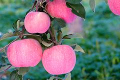 Fuji jabłka obrazy royalty free