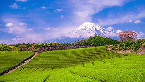 Tea Plantation and Mt. Fuji stock video footage