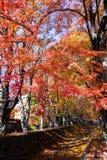 Fuji Kawaguchiko Autumn Leaves Festival, den härliga Momiji auen Arkivfoto