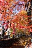 Fuji Kawaguchiko Autumn Leaves Festival, den härliga Momiji auen Arkivfoton