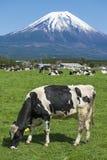Fuji Mountain and Milk Cows. Milk Cows at Farm near fuji Mountain stock photography