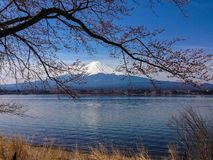 Fuji Mountain. With sakura blossom Royalty Free Stock Image